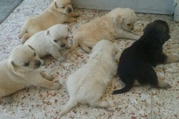 alle-puppies