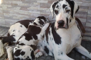 dogge-1